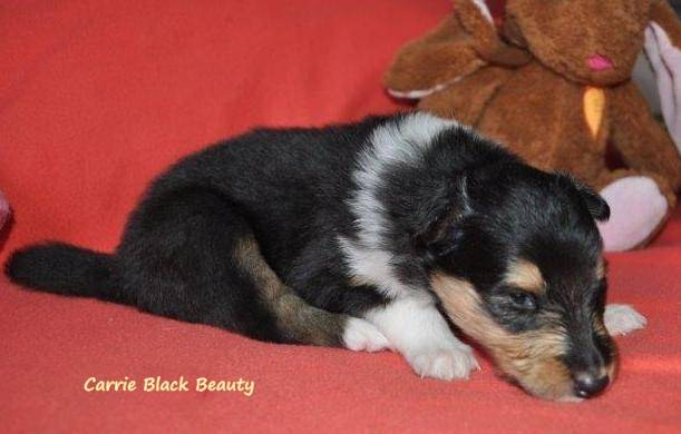 Carrie Black Beauty_