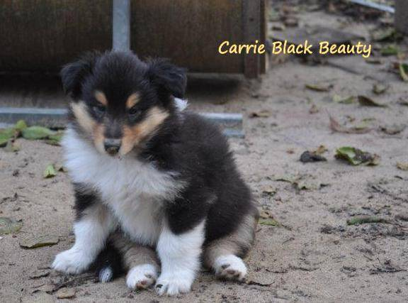 Carrie Black Beauty_2